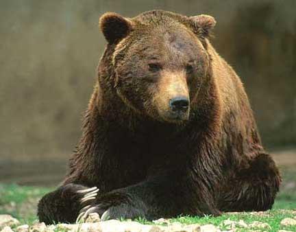 Foto orso bruno marsicano mammiferi presenti nella for Affitti cabina grande lago orso